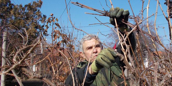 Danas je Sveti Trifun -Evo ko danas i zašto orezuje vinograde!