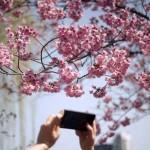 Prolece  cvet drveta