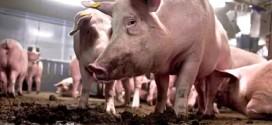 Pojačane mere kod Negotina zbog svinjske kuge u Rumuniji -Radujevac proglašen za ugroženo područje