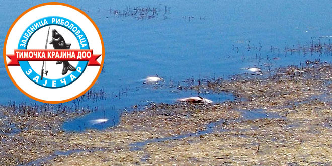 """Zajednica ribolovaca """"Timočka krajina"""": Eventualni uzrok uginuća neka viremija"""