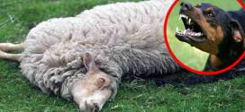 Zaječar: Čopor pasa lutalica rastrgao ovce u Velikom Izvoru