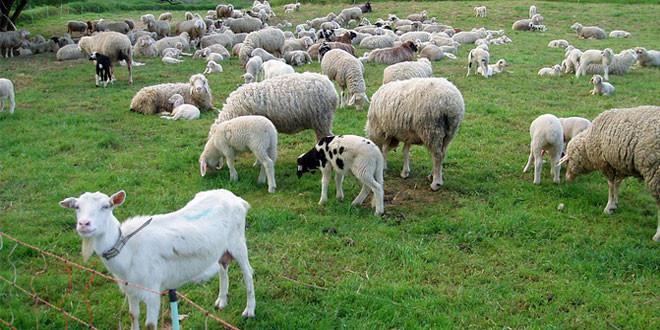 """Predavanje """"Kako povećati broj grla u ovčarstvu i kozarstvu"""" sutra u Zaječaru"""