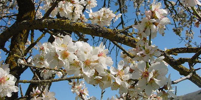 Zbog visokih temperatura u vreme cvetanja, umanjen rod koštičavog voća