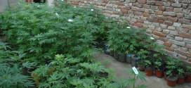 Boljevac: U domaćinstvu otkriven zasad od 50 biljaka nalik kanabisu