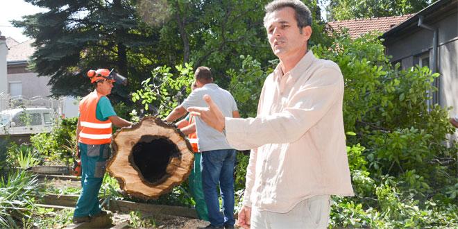 Počeli radovi na uređenju dvorišta zaječarske biblioteke -Đorđević: Orah je bio u lošem stanju i morao je biti posečen