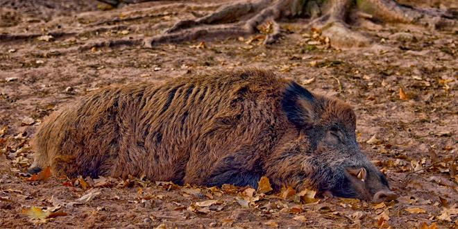 Afrička kuga svinja: U Kupuzištu i Tekiji pronađene uginule divlje svinje